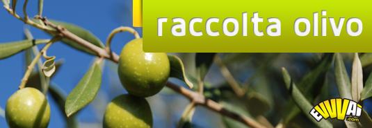 raccolta-olivo